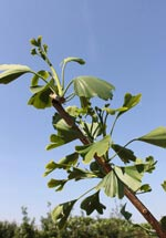 Japanse notenboom